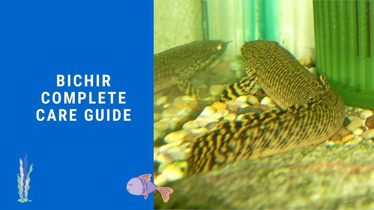 Bichir A Complete Guide Care Diet Facts Fish Spark